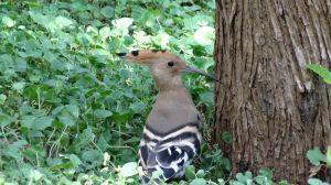 common hoopoe, I like his funky headdress