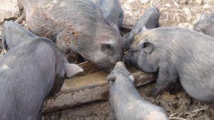piggies in the Akha village