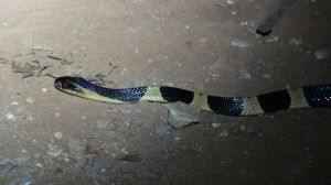 a beautiful snake near the Plain of Jars