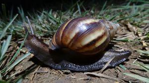 a massive snail also near the Plain of Jars