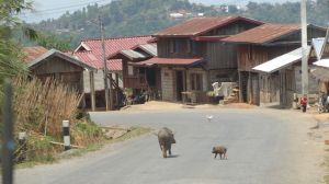 pigs, chickens, anything crosses the road at any time