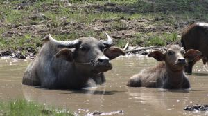 more water buffaloes enjoying a mud bath