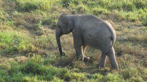 the lone elephant
