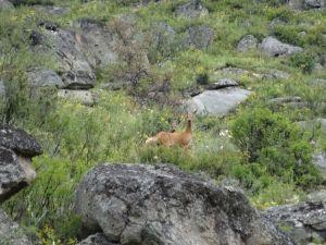 shy deer on the chutsky trakt
