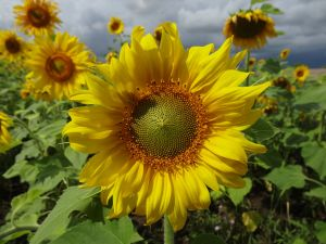 lots and lots of fields full of sunflowers. Just looking at them makes you happy