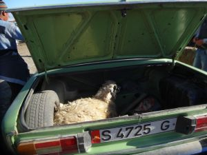 how do you transport your new sheep? in the boot of course