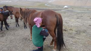 milking one of the mares to make kumys (fermented mare's milk)