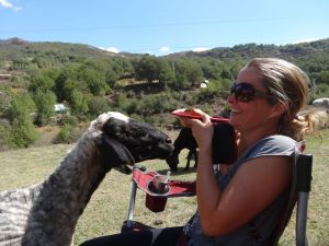 this sheep was particularly interested in my sandwich