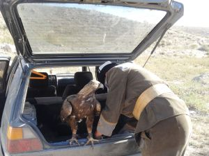 stately golden eagle travels in the back of a little car...