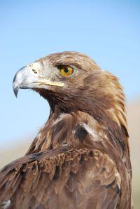 Tomara - the golden eagle, twice champion of Kyrgyzstan already