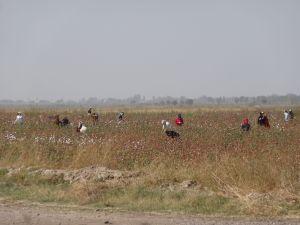 cotton pickers hard at work to reach their qouta