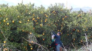 also in Turkey we meet so many friendly people - Jon has to join this man to pick some fresh oranges
