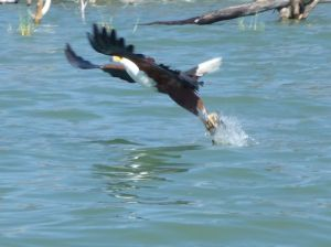 the mighty fish eagle picks up a fish from the lake, the females are larger than the males and have a wingspan of 2.4m