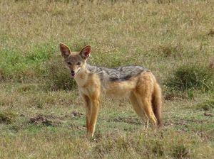 black-backed jackal in Lake Nakuru NP
