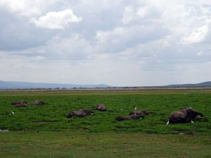only the backs of these gentle giants visible in the swamp (Amboseli)