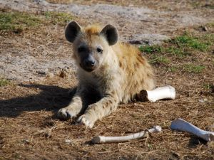 young spotted hyena with last night's dinner