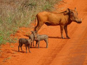 we think this is the desert warthog, not the common warthog... they are hard to tell apart (Tsavo East)