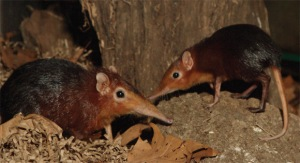 elephant shrews (not our photo)