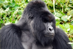 the number 2 silverback in the group