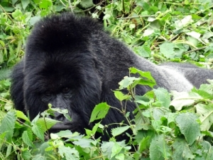 the number one silverback from the Amahoro group - Ubumwe (meaning unity as he is a very peaceful gorilla)