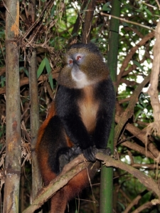 we visit the golden monkeys the next day in the bamboo forest